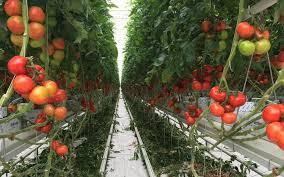 Image de serre de tomates
